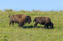 Bison Bison. Two bison mating in Yellowstone National Park Stock Photography
