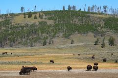Bison bison Royalty Free Stock Images