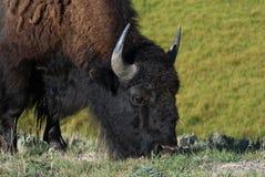 Bison bison Stock Image
