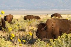 Bison bisonbison Fotografering för Bildbyråer