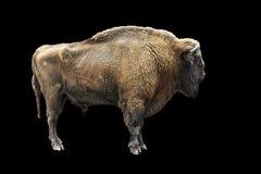 Bison on black Stock Photos