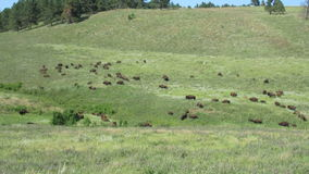 Bison in the Black Hills. A herd of bison moving through the grass covered hills of South Dakota stock footage