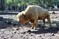Bison blanc Photographie stock libre de droits
