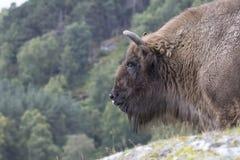 Bison bonasus, europäischer Bison, Büffel lizenzfreies stockbild