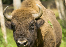 Bison bonasus Royalty Free Stock Photography