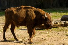 Bison bonasus Royalty Free Stock Photos