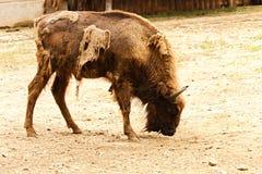 Bison bonasus Stock Images
