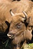 Bison bonasus, Wisent, European bison Stock Photos