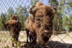 Bison bonasus, Wisent, European bison. Bisons in Oksky biospheric reserve Stock Image