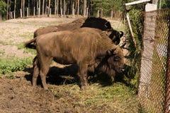 Bison bonasus, Wisent, European bison. Bisons in Oksky biospheric reserve Royalty Free Stock Photo