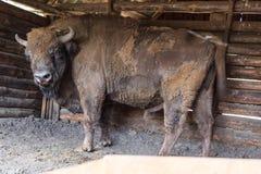 Bison bonasus, Wisent. Royalty Free Stock Images