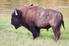 Bison with Brown-Headed Cowbirds. A bull bison standing near the Yellowstone River with a pair of Brown-headed Cowbirds perched on his back, Yellowstone National Stock Photography