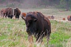 1 1/2 Bison Buffalo à cornes en Custer State Park dans le Black Hills du Dakota du Sud Etats-Unis Image stock