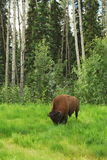 Bison (Buffalo) Stock Image