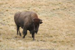 Bison-buffalo. In grass field in Yellowstone NP Royalty Free Stock Image