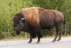 Bison-buffalo. Boson-buffalo walking on the road  in Yellowstone NP Royalty Free Stock Photos