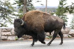 Bison-buffalo. Walking on the road in Yellowstone NP Royalty Free Stock Photography
