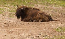 Bison Buffalo Royalty-vrije Stock Foto's