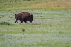 Bison or buffalo Royalty Free Stock Image