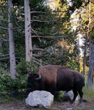 Bison. Or buffalo as commonly know as, are coming back strong from nearly extinction.  There was a time, not all that long ago, that only 30  could be found Stock Photography