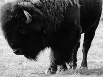 Bison. Buffalo black and white nikon Stock Photo