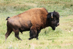Bison or buffalo bull Stock Photo