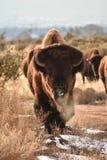 Bison Buffalo Bull Royalty Free Stock Photography