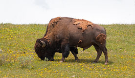 Bison Buffalo Bull che pasce vicino al villaggio del canyon nel parco nazionale di Yellowstone nel Wyoming Immagine Stock Libera da Diritti