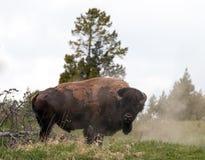 Bison Buffalo Bull che spolvera in Hayden Valley vicino al villaggio del canyon nel parco nazionale di Yellowstone nel Wyoming U. Immagini Stock Libere da Diritti