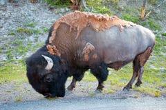 Bison Buffalo Bull, der nahe in Hayden Valley zum Schlucht-Dorf in Yellowstone Nationalpark in Wyoming USA weiden lässt Lizenzfreie Stockbilder