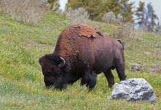 Bison Buffalo Bull, der nahe in Hayden Valley zum Schlucht-Dorf in Yellowstone Nationalpark in Wyoming USA weiden lässt Lizenzfreie Stockfotos