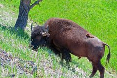 Bison Buffalo Bull grazing on a hill in Yellowstone Stock Photo