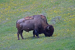 Bison Buffalo Bull grazing near Canyon Village in Yellowstone National Park in Wyoming Stock Images