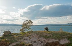 Bison Buffalo Bull grazing next to Yellowstone Lake in Yellowstone National Park in Wyoming USA. Bison Buffalo Bull grazing next to Yellowstone Lake in Royalty Free Stock Photos