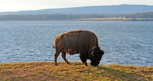 Bison Buffalo Bull grazing next to Yellowstone Lake in Yellowstone National Park in Wyoming USA. Bison Buffalo Bull grazing next to Yellowstone Lake in Stock Photo
