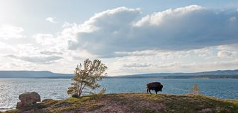 Bison Buffalo Bull grazing next to Yellowstone Lake in Yellowstone National Park in Wyoming USA. Bison Buffalo Bull grazing next to Yellowstone Lake in Stock Images
