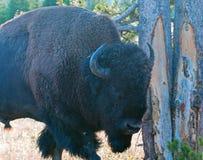 Bison Buffalo Bull near Canyon Village in Yellowstone National Park in Wyoming. USA Stock Photo