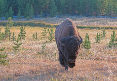 Bison Buffalo Bull near Canyon Village in Yellowstone National Park in Wyoming. USA Stock Photos
