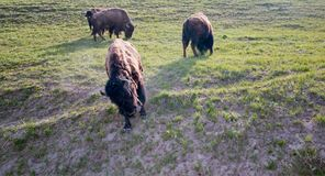 Bison Buffalo Bull que camina abajo de un peñasco en Hayden Valley en el parque nacional de Yellowstone en Wyoming los E.E.U.U. fotografía de archivo libre de regalías