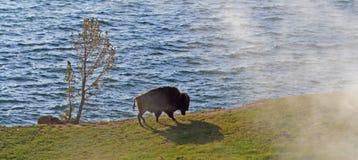 Bison Buffalo Bull que camina más allá del cocido al vapor al vapor expresa al lado del lago Yellowstone en el parque nacional de Imagenes de archivo