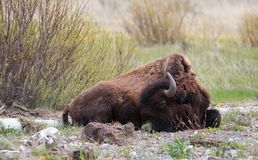 Bison Buffalo Bull que duerme al lado de cala del guijarro en Lamar Valley en el parque nacional de Yellowstone en Wyoming los E. Fotografía de archivo libre de regalías