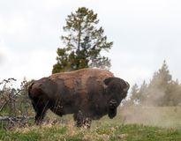 Bison Buffalo Bull que espana fora em Hayden Valley perto da vila da garganta no parque nacional de Yellowstone em Wyoming EUA imagens de stock royalty free