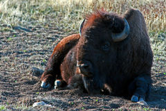 Bison Buffalo Bull som vilar i Custer State Park arkivbilder