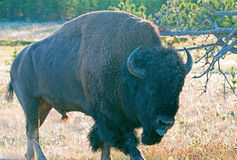 Bison Buffalo Bull sticking out his tongue near Canyon Village in Yellowstone National Park in Wyoming. USA Royalty Free Stock Photography