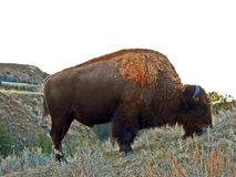 Bison Buffalo Bull in Theodore Roosevelt National Park North Unit in North Dakota USA stock images