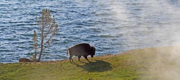 Bison Buffalo Bull walking past steaming vents next to Yellowstone Lake in Yellowstone National Park in Wyoming USA stock images