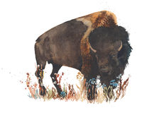 Bison buffalo bull wild animal watercolor painting illustration isolated on white background Stock Images