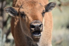 Bison buffalo calf open mouth Stock Photography