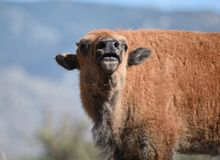 Bison buffalo calf sniffs  Royalty Free Stock Photo