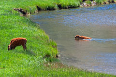 Bison Buffalo Calf Swimming across a river in Yellowstone National Park Royalty Free Stock Photography